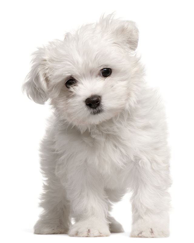 Maltese Puppies Breed information & Puppies for Sale