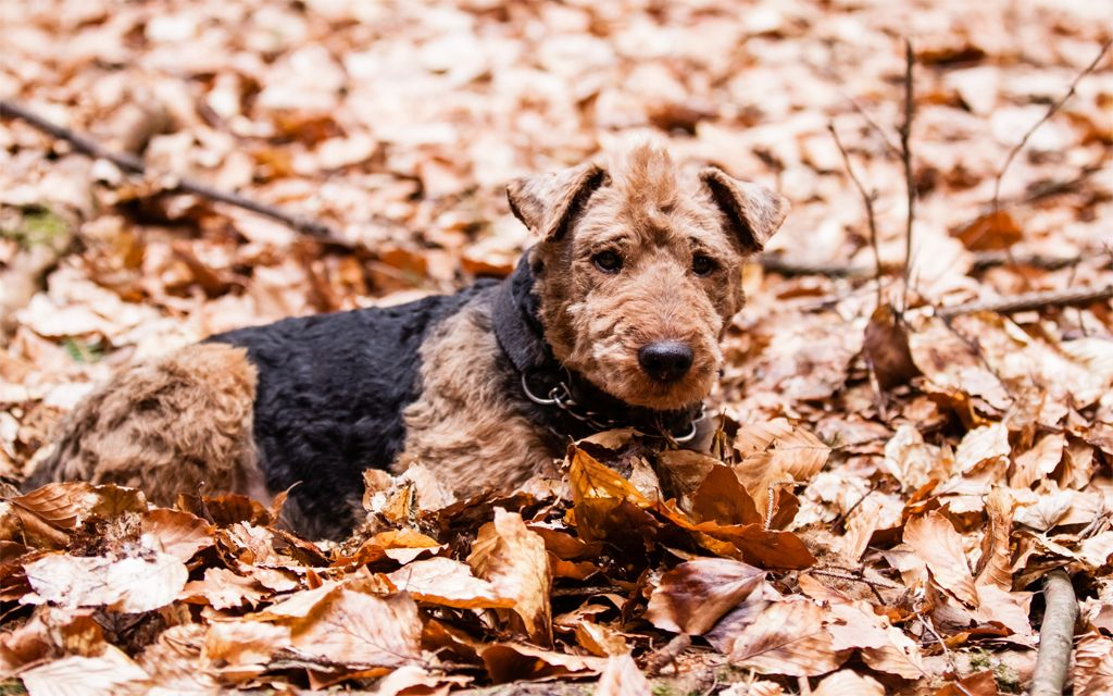 Welsh Terrier Puppy picture
