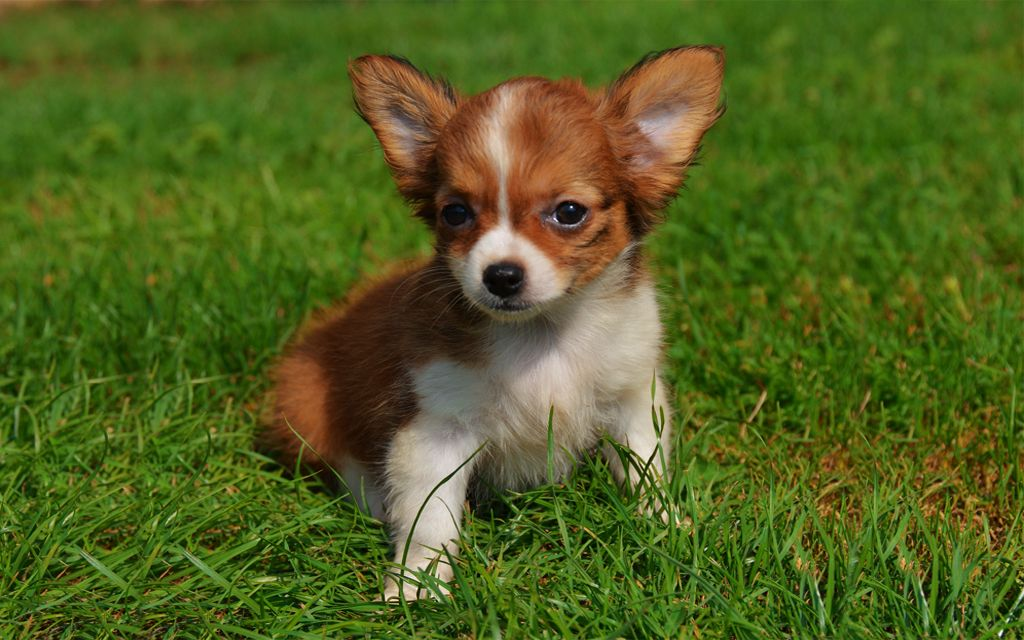 Bicolor Chihuahua Puppy picture