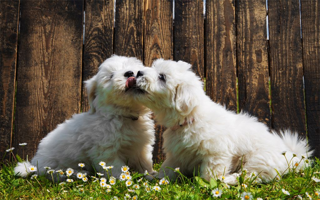 White Coton de Tulear Puppies picture