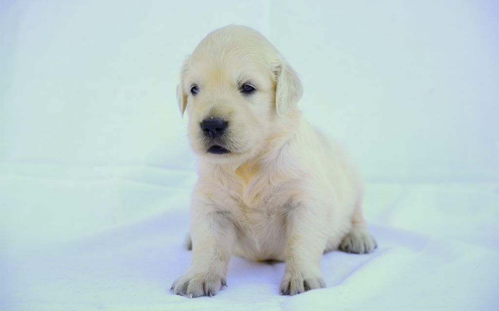 Golden Retriever Puppy picture