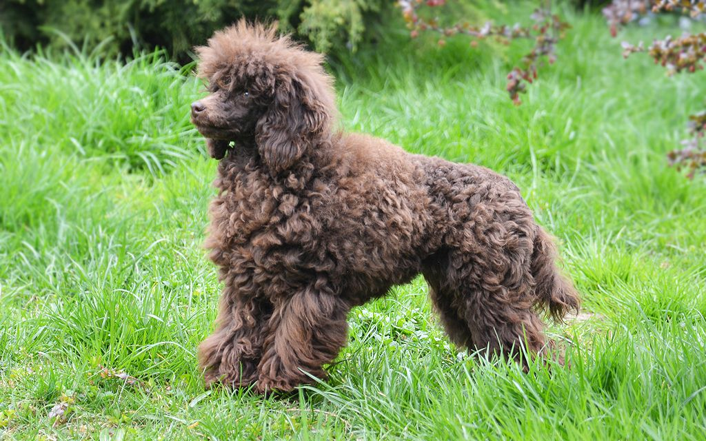 Chocolate Miniature Poodle pcture