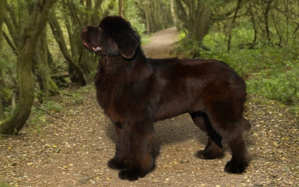 Brown Newfoundland picture