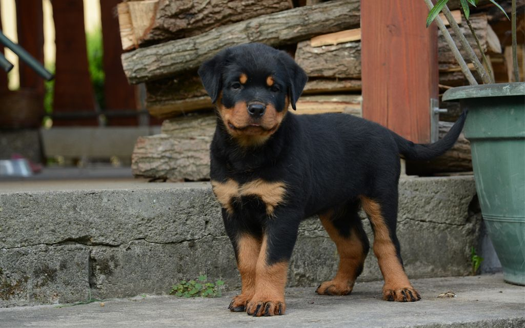 Black and Tan Rottweiler Puppy image