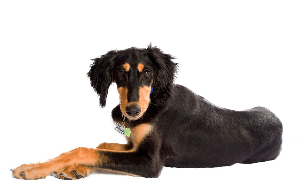 Black and Tan Saluki picture
