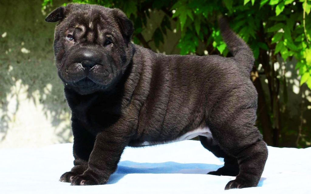 Chinesische Shar Pei Breed Dog Breed Information Pictures