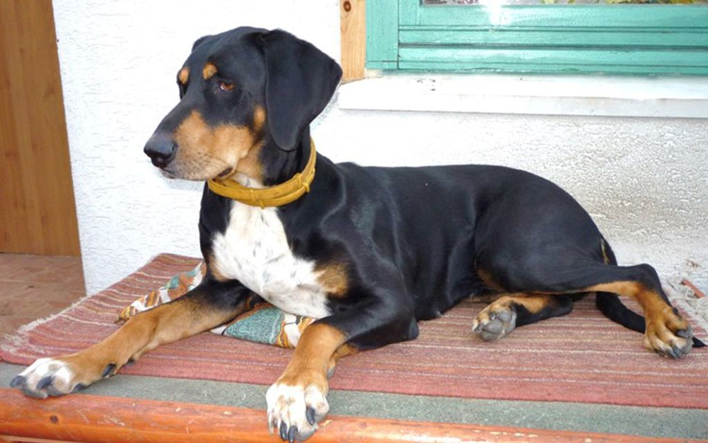 Black and Tan Transylvanian Hounds picture