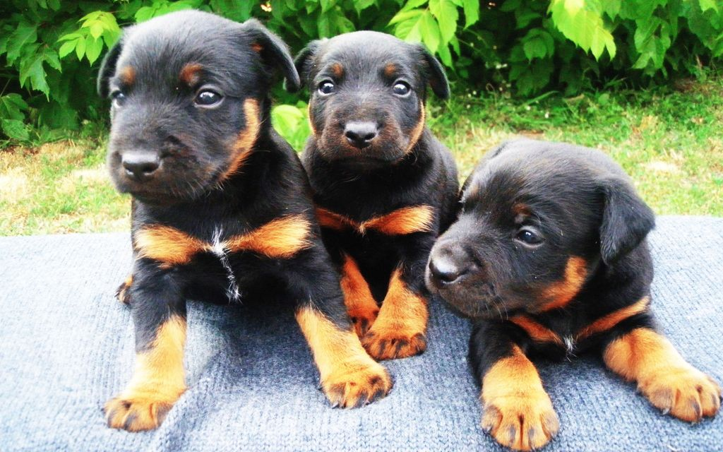 Jagd terrier Puppies image