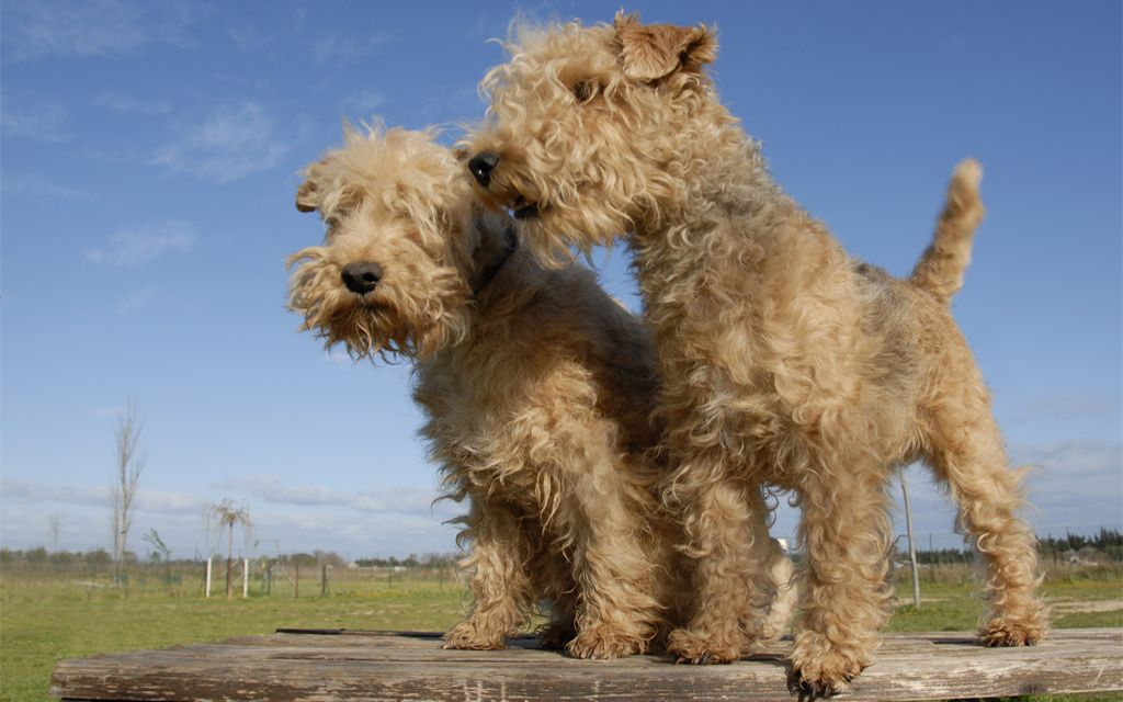 lakeland terrier Puppies picture