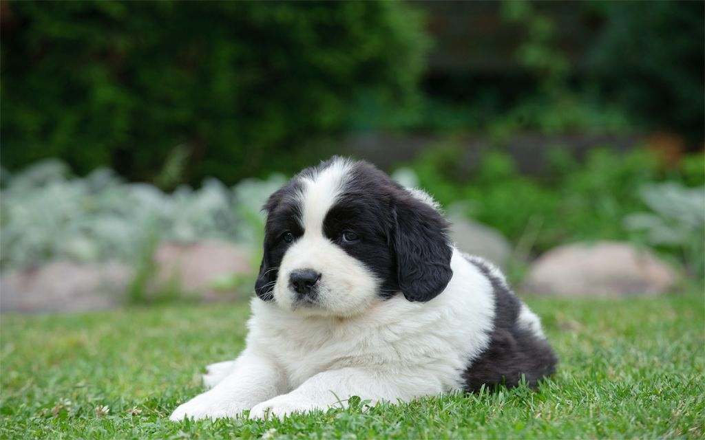 Landseer Puppy picture