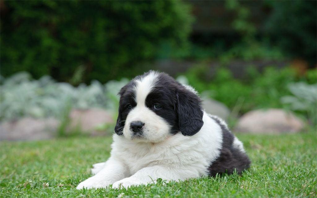 Landseer Puppy picture