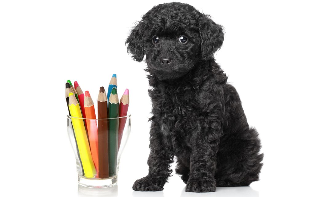 Toy Poodle Puppy picture