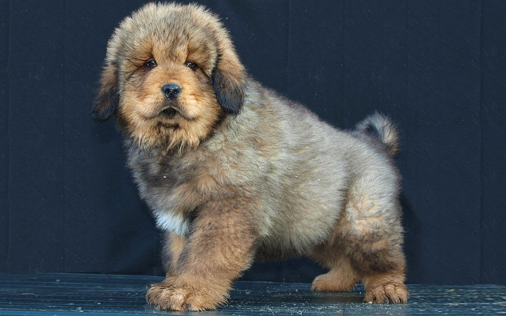 Grey Tibetan Mastiff Puppy picture