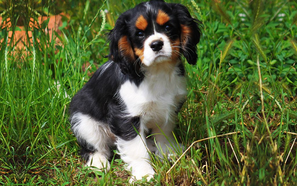 Tricolor Cavalier King Charles Puppy image
