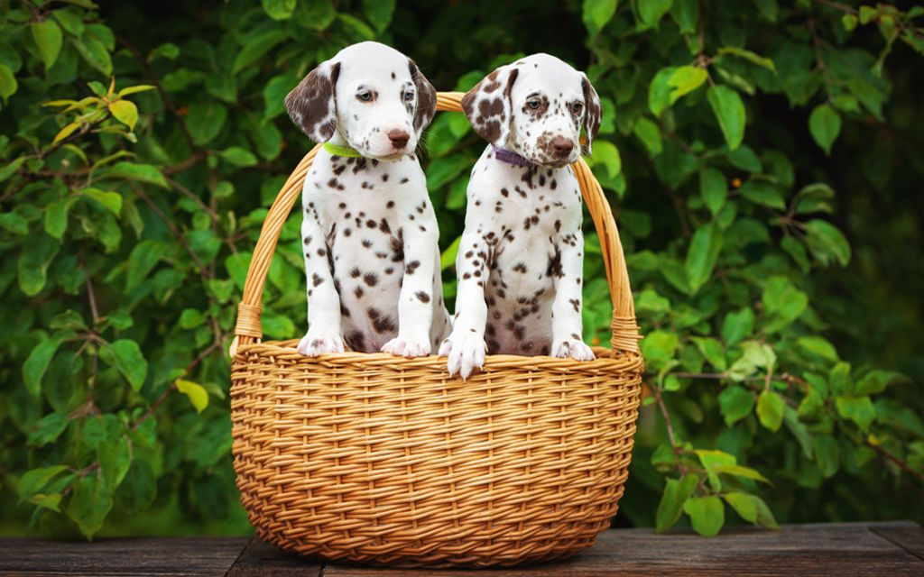 Brown Markings Dalmatian Puppies image
