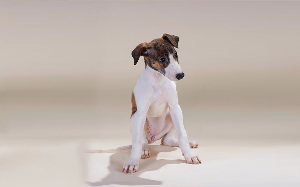 White with markings Hunragian Greyhound Puppy picture