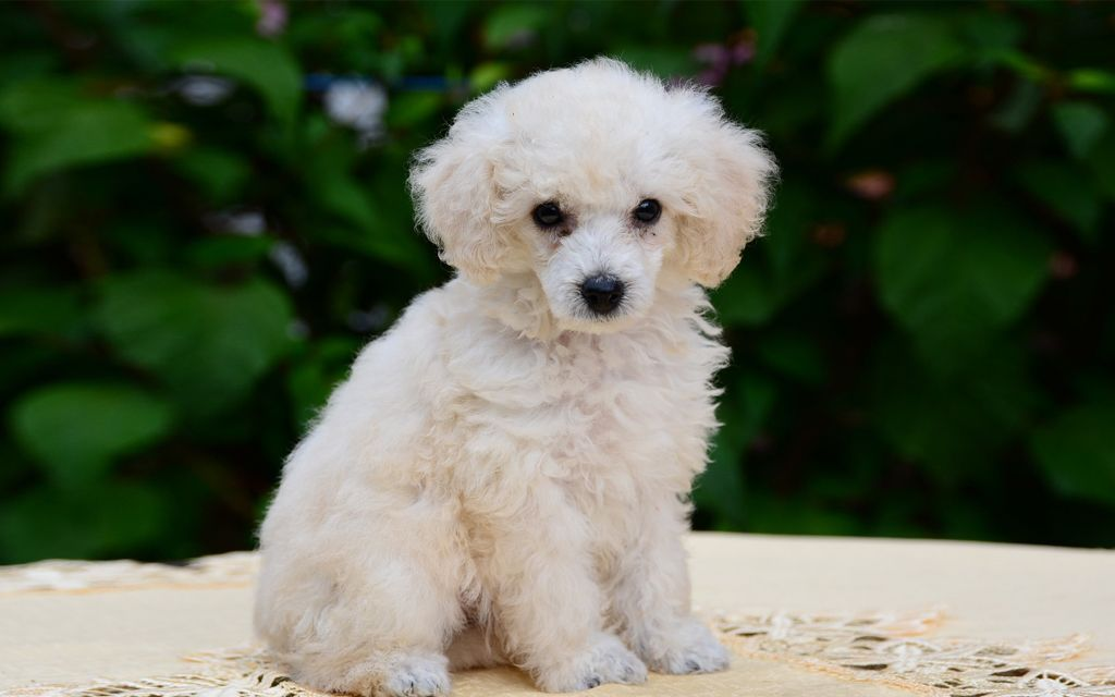 White Miniature Poodle Puppy image