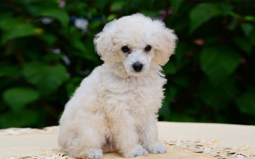 White Miniature Poodle Puppy image
