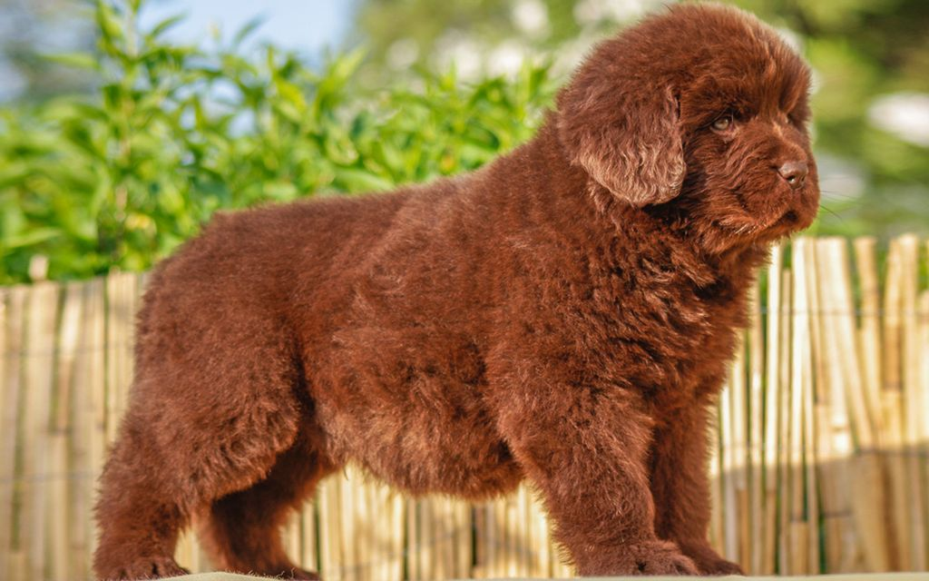 Brown Newfoundland Puppy picture
