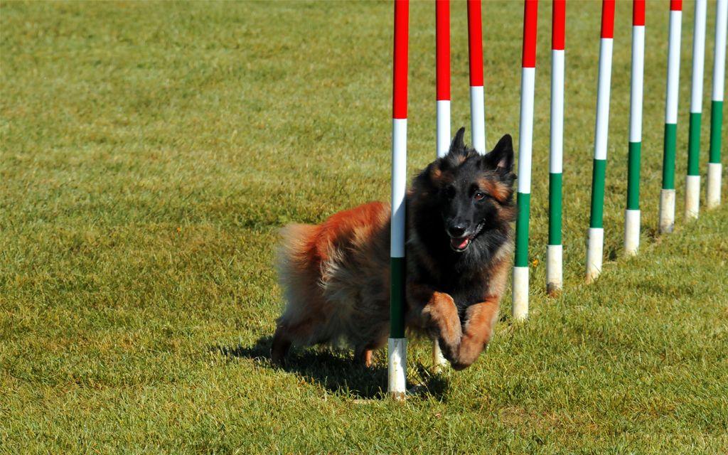 Red Belgian Shepherd Tervueren image