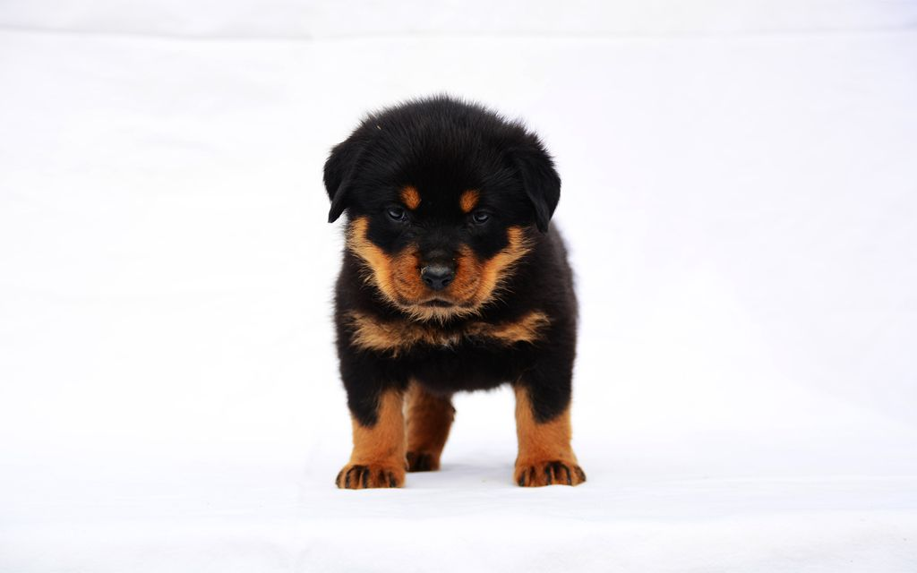 Black and Tan Rottweiler Puppy picture