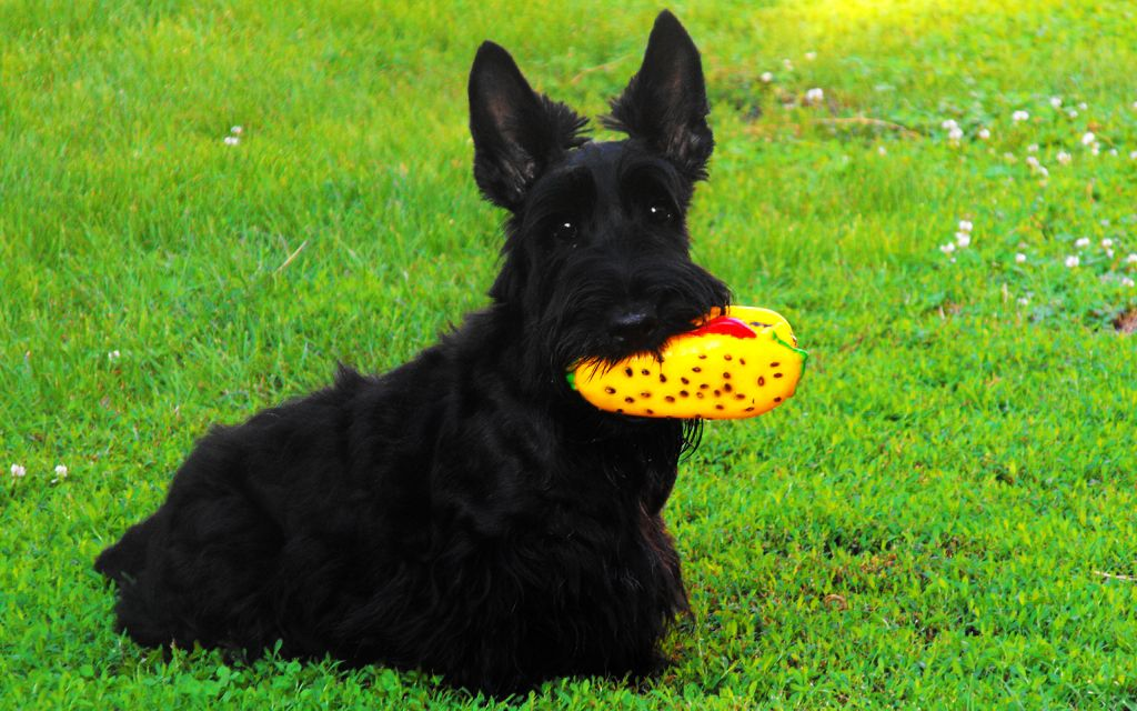 Black Scottish Terrier picture