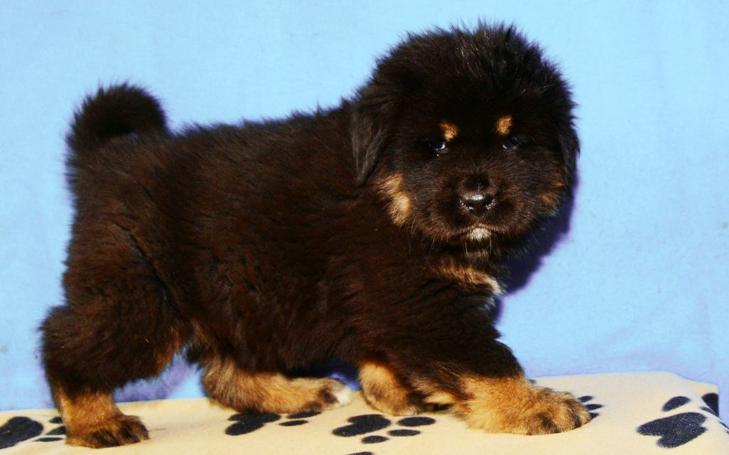 Black and Tan Tibetan Mastiff Puppy picture