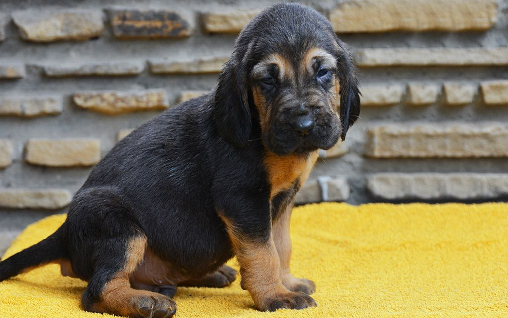 Black and Tan Bloodhound puppy picture