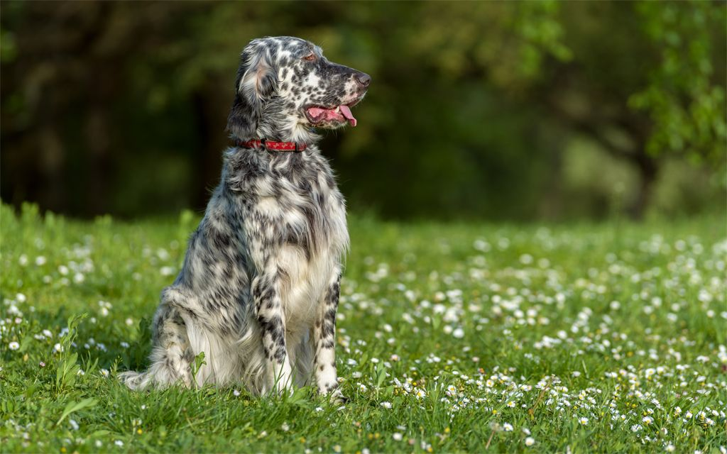 White with markings English Setter image