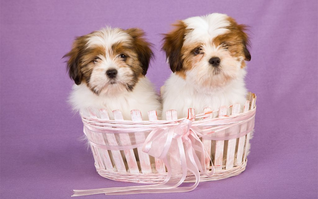Lhasa Apso Puppies image