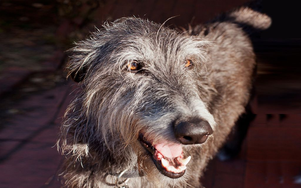 Scottish Deerhound picture