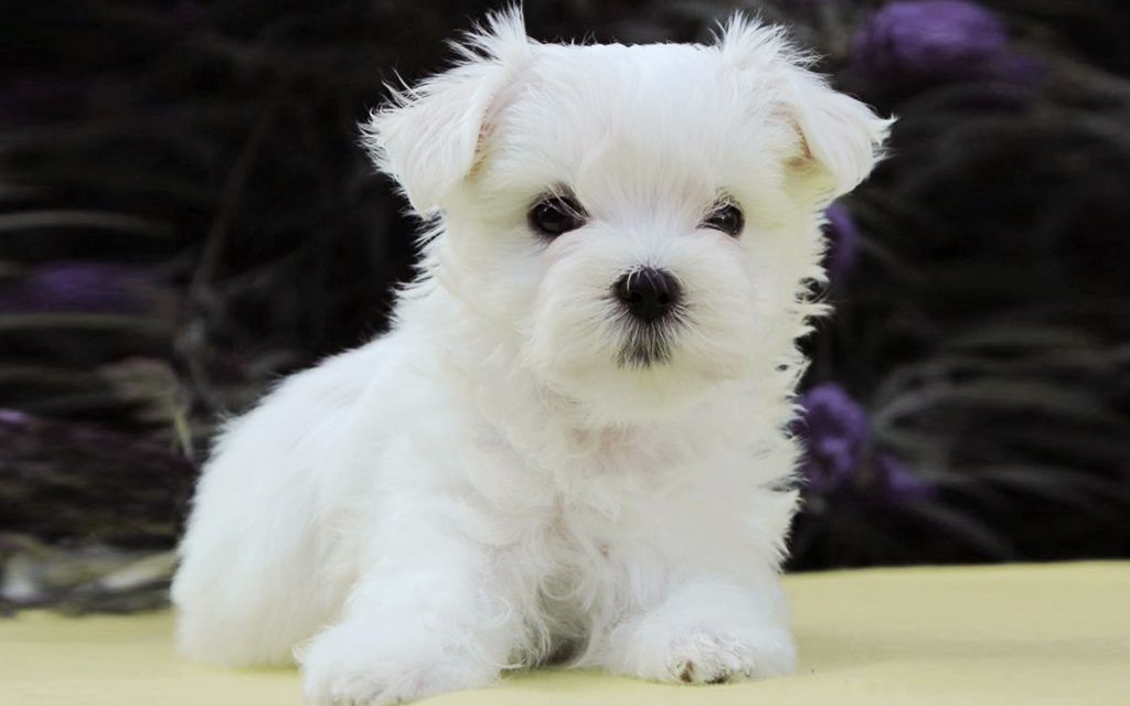 White Maltese Puppy image