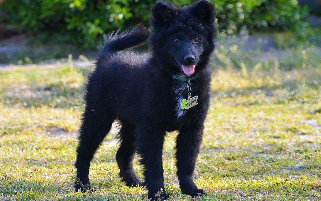 Black Mudi Puppy picture
