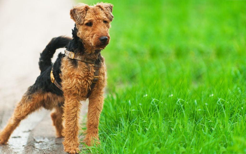 Welsh Terrier image