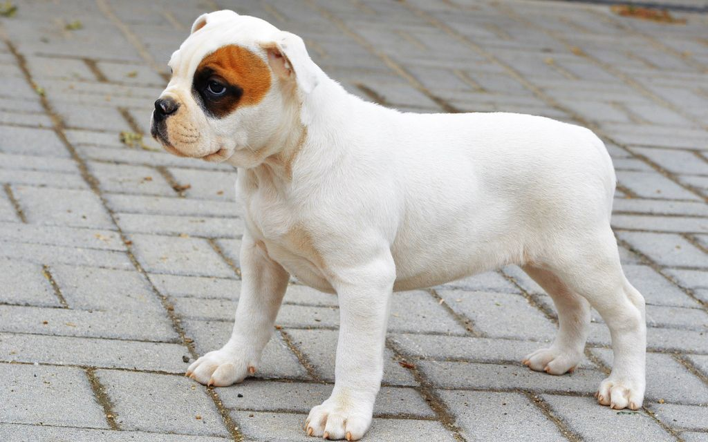 White with marking American Bulldog Puppy picture