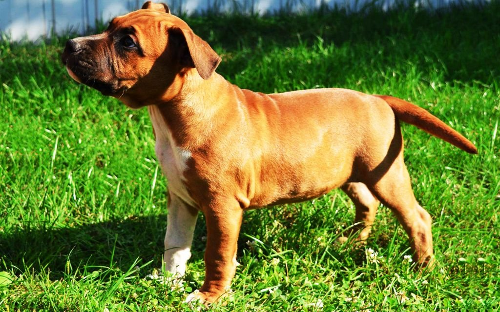 White and Brown American Staffordshire Terrier Puppy image