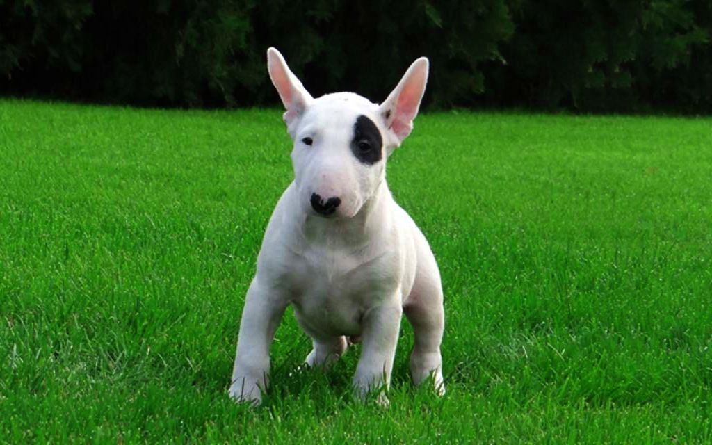 White white markings Bull Terrier Puppy picture