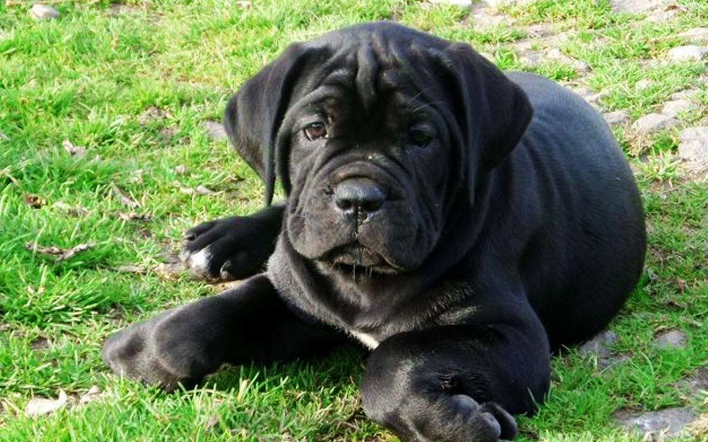 Black Cane Corso Puppy picture