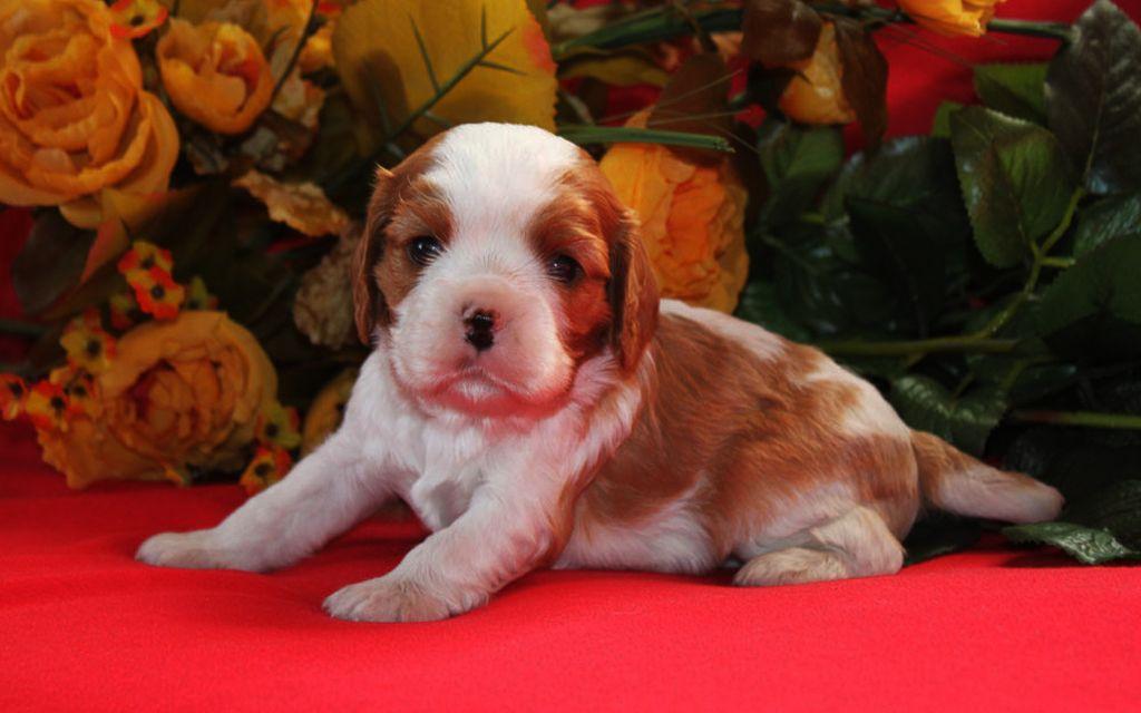 Blenheim Cavalier King Charles Puppy picture