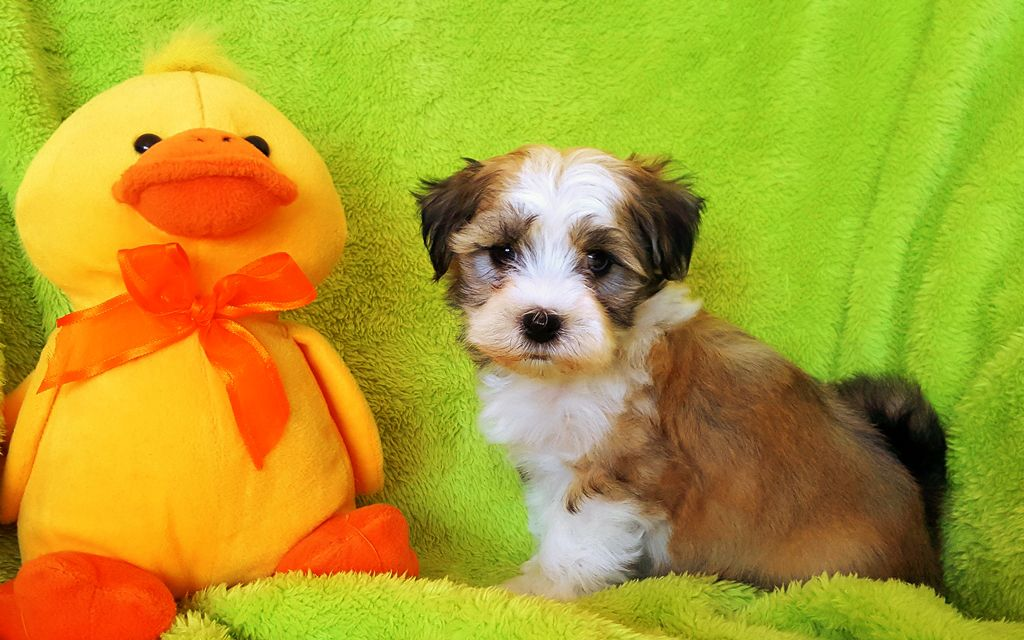 Sable White Havanese Puppy image