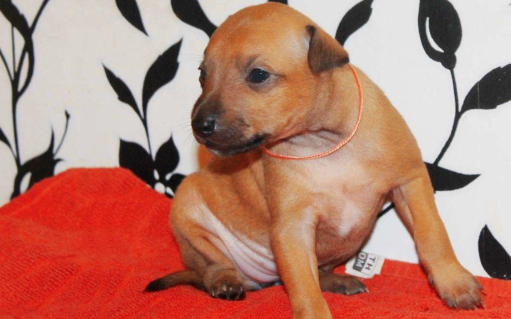 Beige Italian greyhound Puppy picture