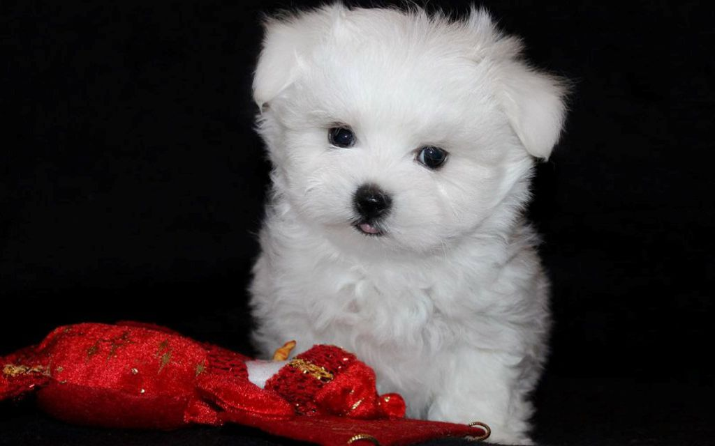 White Maltese Puppy picture