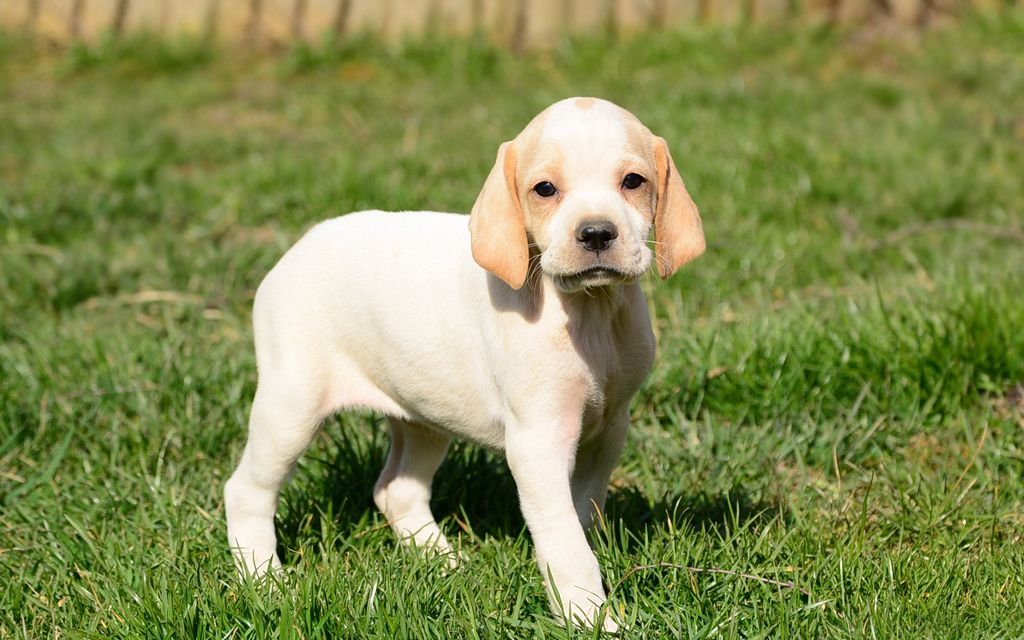 White with markings Pointer Puppy picture