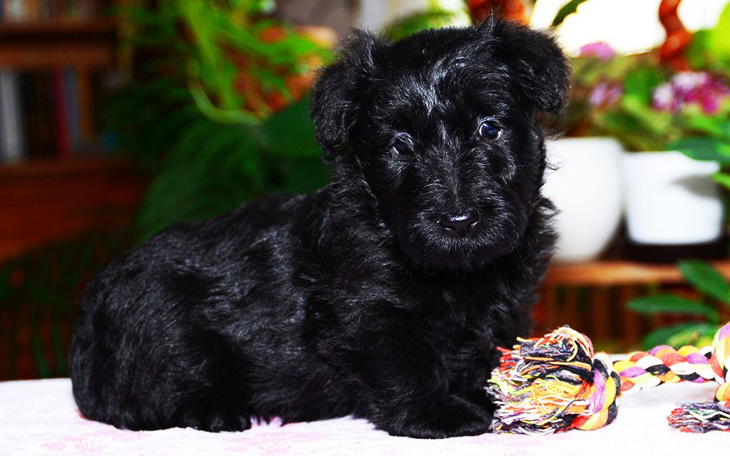 Black Scottish Terrier Puppy image