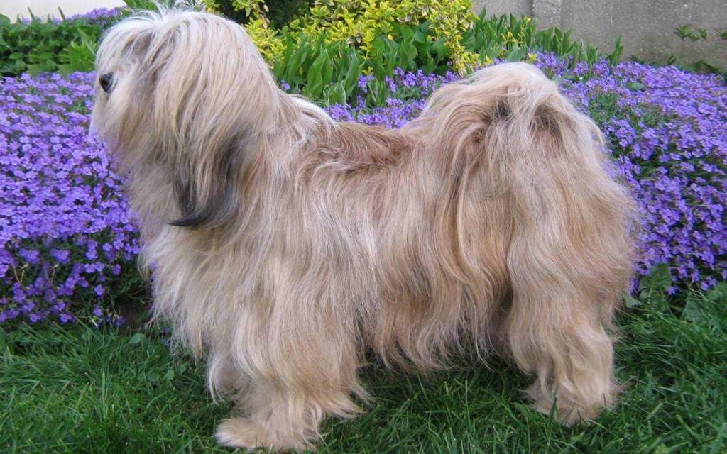 Sable Tibetan Terrier image