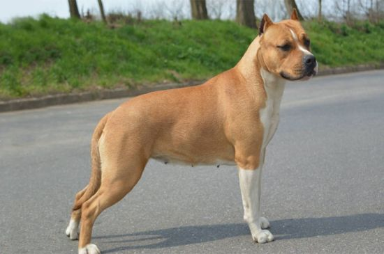 Brown American Staffordshire Terrier picture
