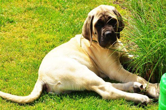 Sand English Mastiff Puppy picture