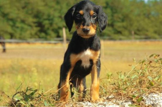 Black and Tan Saluki Puppy image