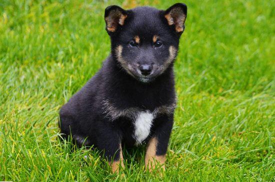 Tricolor Shiba Inu Puppy picture