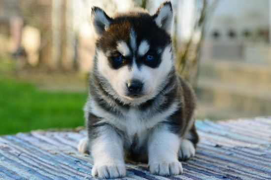 White with Silver markings Siberian Husky Puppy picture